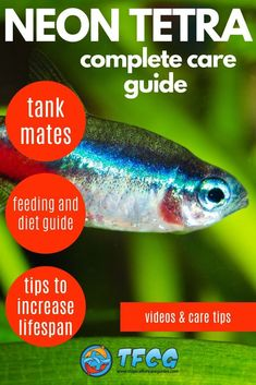 The Neon Tetra (Paracheirodon innesi) is one of the most popular fish. It's a small freshwater fish and very easy to care for. Learn how to care for the Neon Tetra with our complete guide. Tropical Freshwater Fish, Tropical Fish Tanks, Freshwater Aquarium Fish, Fish Aquariums, Aquarium Setup, Aquarium Ideas, Neon Tetra Fish, 10 Gallon Fish Tank, Aquarium Maintenance