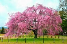 Cerejeira Japonesa