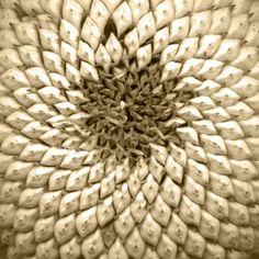 Sunflower Sonnenblume Sunflowers, Autumn