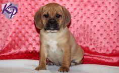 Keystone Puppies has a puppy finder feature setting you up to find and buy a dog perfect for your home. Puggle Puppies For Sale, Cute Puppies For Sale, Puppy Finder, Baby Pugs, Buy A Dog, Labrador Retriever, Dogs, Animals, Pug Puppies