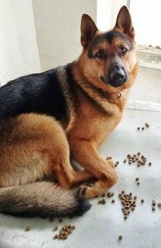 German shepherd continues to escape from yard: This time owner didn't return