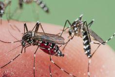 Mi Universar: Mosquitos no tan malditos