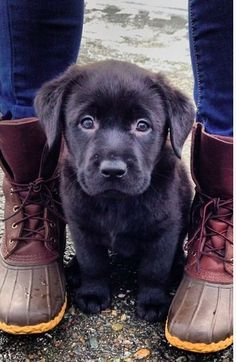 Mind Blowing Facts About Labrador Retrievers And Ideas. Amazing Facts About Labrador Retrievers And Ideas. Best Dog Breeds, Best Dogs, Black Dogs Breeds, Cute Dogs Breeds, Small Dog Breeds, Small Breed, Labrador Noir, Labrador Puppies, Animals And Pets