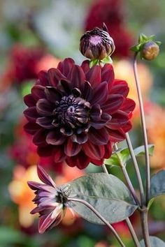 Buy Dahlia 'Karma Choc' from Sarah Raven: A beautiful dahlia with black stems & velvet flowers. Bred for use as a cut flower, this dahlia has a great vase life. All Flowers, Beautiful Flowers, Wedding Flowers, Dahlia Flowers, Growing Dahlias, Dream Garden, Trees To Plant, Garden Plants, Fruit Garden