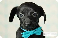 Nashville, TN - Chihuahua/Dachshund Mix. Meet Droplet, a puppy for adoption. http://www.adoptapet.com/pet/14236844-nashville-tennessee-chihuahua-mix