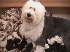 Flash back 2002 Hannah and Bentley.litter-- Old English Sheepdog puppy or rescue please call or text 214-448-2888 .... texassheepdogpup@gmail.com....Akc Export for Britz Royal Croft family