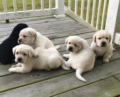Family Photo...Labs?  Adorable