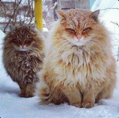 1000 Images About Fat Cats On Pinterest Fat Cats