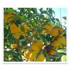 yuzu-fruit-on-tree