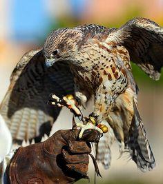 Falcon 2012 Arizona Renaissance Festival (ARF) by gbrummett Renaissance Time, Birds Of Prey, Bald Eagle, Arizona, Raptors, Falcons, Hawks, Animals, Prada