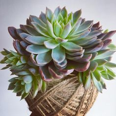 Succulents, Day, Flowers, Plants, Instagram, Succulent Plants, Flora, Royal Icing Flowers, Floral