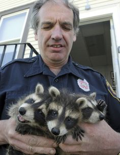 Massachusetts Firefighter John Spofford holds three rescued raccoons. | Shared by LION