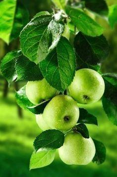 70 Ideas for fruit apple green granny smith Fruit And Veg, Fruits And Veggies, Fresh Fruit, Apple Fruit, Fresh Apples, Granny Smith, Go Green, Green Colors, Flora Und Fauna