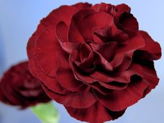 burgundy carnations - Google Search