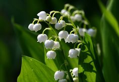 Lily of the Valley  aka Jacobs Ladder Male Lily Our Ladys Tears Ladder-to-Heaven May Lily Constancy  Element:AirPlanet:MercuryAssociations:Soothing calming draws peace and tranquility and repels negativity.  Uses:  Assists in empowering happiness and mental powers.  Use in magical workings to stop harassment.  Married couples should plant Lily of the Valley in their first garden to promote longevity of the marriage.  Note: Poisonous use with caution.  Instagram | Twitter | Facebook…