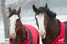 Beautiful Clydesdales from Kentucky Horse Park Kentucky Horse Park, Love Me Again, Clydesdale Horses, Draft Horses, Horse Farms, Horse Photography, My Happy Place, Beautiful Horses, Blankets