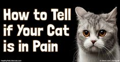 Know the major contributors to feline arthritis, its symptoms and how you can prevent or alleviate it in your cat. http://healthypets.mercola.com/sites/healthypets/archive/2016/06/28/cat-arthritis.aspx