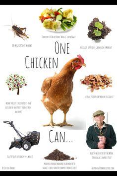Chickens are amazing creatures! I sure love mine.