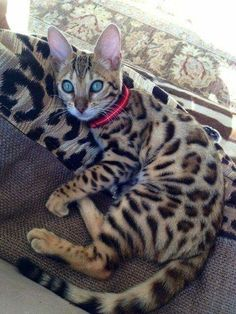 If I wasn't allergic to cats I would have a Bengal cat! Cute Cats And Kittens, Cool Cats, Kittens Cutest, I Love Cats, Pretty Cats, Beautiful Cats, Pretty Kitty, Cute Baby Animals, Animals And Pets