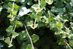 Räucherpflanzenlexikon ~ Efeu Räucherwerk - All For Garden Herbal Plants, Ivy Plants, Medicinal Plants, Trees To Plant, Plant Leaves, Magic Herbs, Formal Gardens, Outdoor Gardens, Traditional Landscape