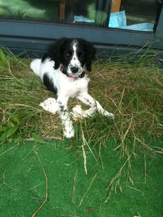 10 weeks old This is my new dog. Its a dutch dog a Friese stabij mix with a spaniel. His name is Spook.   29-6-2012