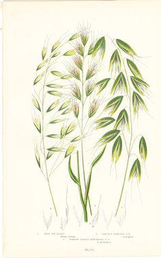 Antique Botanical Print Wild Oat Grass by BrocantePrints on Etsy