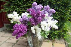 Longer Lasting Lilac Blossoms – All things green