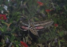 Pink striped hummingbird moth in my flowers