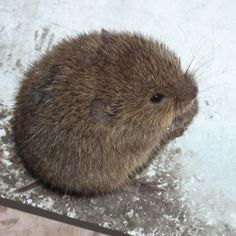 lemming - awwwww so sweet Cute Creatures, Beautiful Creatures, Animals Beautiful, Cute Small Animals, Super Cute Animals, Rare Animals, Animals And Pets, Funny Animals, Nature Color Palette