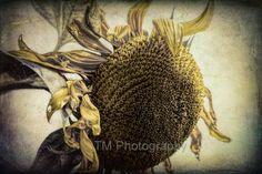 Sunflower  Spent Sunflower  Serene  Beautiful  by turquoisemoon