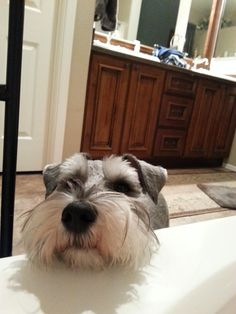 Mini Schnauzer Charlie. This is what he does when I am taking a bath. Gotta love Schnauzers.