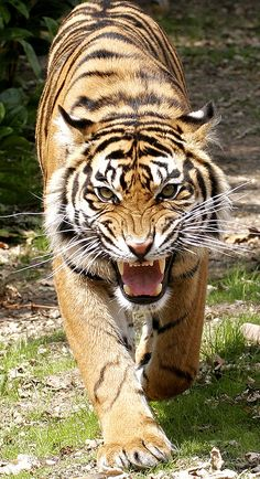 Coming for you! Angry Animals, Big Animals, Majestic Animals, Wild Animal Wallpaper, Tiger Wallpaper, Beautiful Cats, Animals Beautiful, Wild Animals Photography, Tiger Tattoo