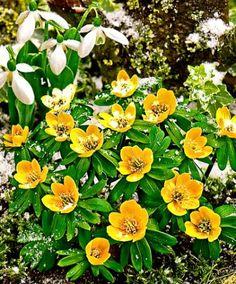 Kisázsiai Téltemető (Eranthis cilicica). Ez a növény a Boglárkafélék családjába közé tartozik. Üde, korán virágzó növény, amely már februártól hozza élénk, aranysárga virágait. A csésze formájú virágok mézillatúak. A Kisázsiai Téltemető még a havon keresztül is utat tör magának, akárcsak a krókusz.