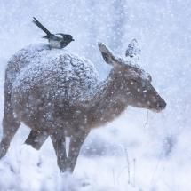 Doe and friend in winter storm