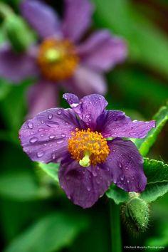 Meconopsis betonicifolia 'Hensol Violet'. Sinivaleunikko