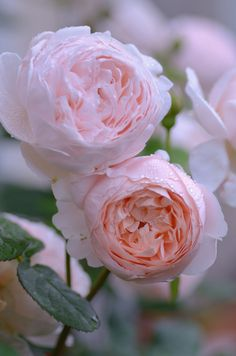 'Ambridge Rose' | David Austin English Rose. Austin, 1990 | Flickr - © snowshoe hare*