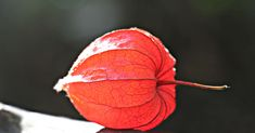 #flora #lampion #lampionblume #lantern like #nachtschattengewchs #nature #orange #orange red #ornamental plant #pericarp #physalis alkekengi #sunlight