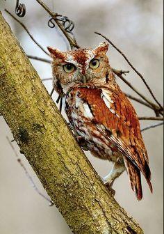 Beautiful Colour on the Owl <3 << looks like Eastern Screech?
