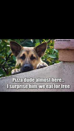 Wicked Training Your German Shepherd Dog Ideas. Mind Blowing Training Your German Shepherd Dog Ideas. Funny Animal Memes, Dog Memes, Cute Funny Animals, Funny Animal Pictures, Dog Pictures, Funny Dogs, Animal Humor, German Shepherd Memes, German Shepherd Puppies