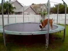 Trampoline dog, funny video