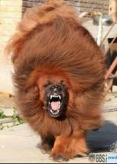 """animeasuka: """" taiomifox: """" This is a 5 month old Tibetan Mastiff. This is a 5 month old Tibetan Mastiff. This is a 5 month old Tibetan Mastiff. This is a 5 month old Tibetan Mastiff. Giant Dog Breeds, Giant Dogs, Large Dog Breeds, Pet Dogs, Dogs And Puppies, Dog Cat, Lion Dog, Tibetan Mastiff Attack, Dogue Du Tibet"""