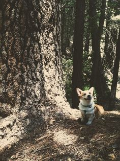Woodland Corgi an endangered species...LOL