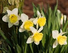 "20 Narcissus Ice Follies - LARGE 14-16"" high Good for slopes, meadows garage bed"