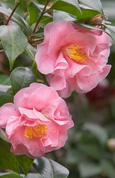 Camellia, these shade/partial shade plants can be shaped as trees.
