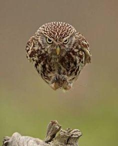 フクロウ もっと見る