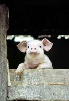 Looks like Wilber the lovable pig from Charlotte's Web.