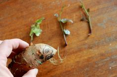 How to grow sweet potato slips Little eco footprionts Science Experiments Kids, Science For Kids, Preschool Science, Science Ideas, Elementary Science, Science Projects, Potato Face, Potato Heads, Toddler Learning Activities