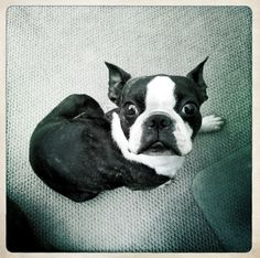 Ramsay my Boston Terrier giving me the skunk eye.
