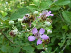 Δίνει γύρη και νέκταρ αλλά σε μικρές ποσότητες, οι οποίες όμως είναι σημαντικές γιατί ανθίζει σε μία περίοδο που ελάχιστα μελισσοκομικά φυτά υπάρχουν.