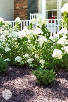 Flower Gardening For Beginners Growing Limelight Hydrangeas Little Lime Hydrangea, Hydrangea Bloom, Limelight Hydrangea, Hydrangea Care, Hydrangeas, Hydrangea Landscaping, Landscaping Ideas, Garden Landscaping, Rhododendron